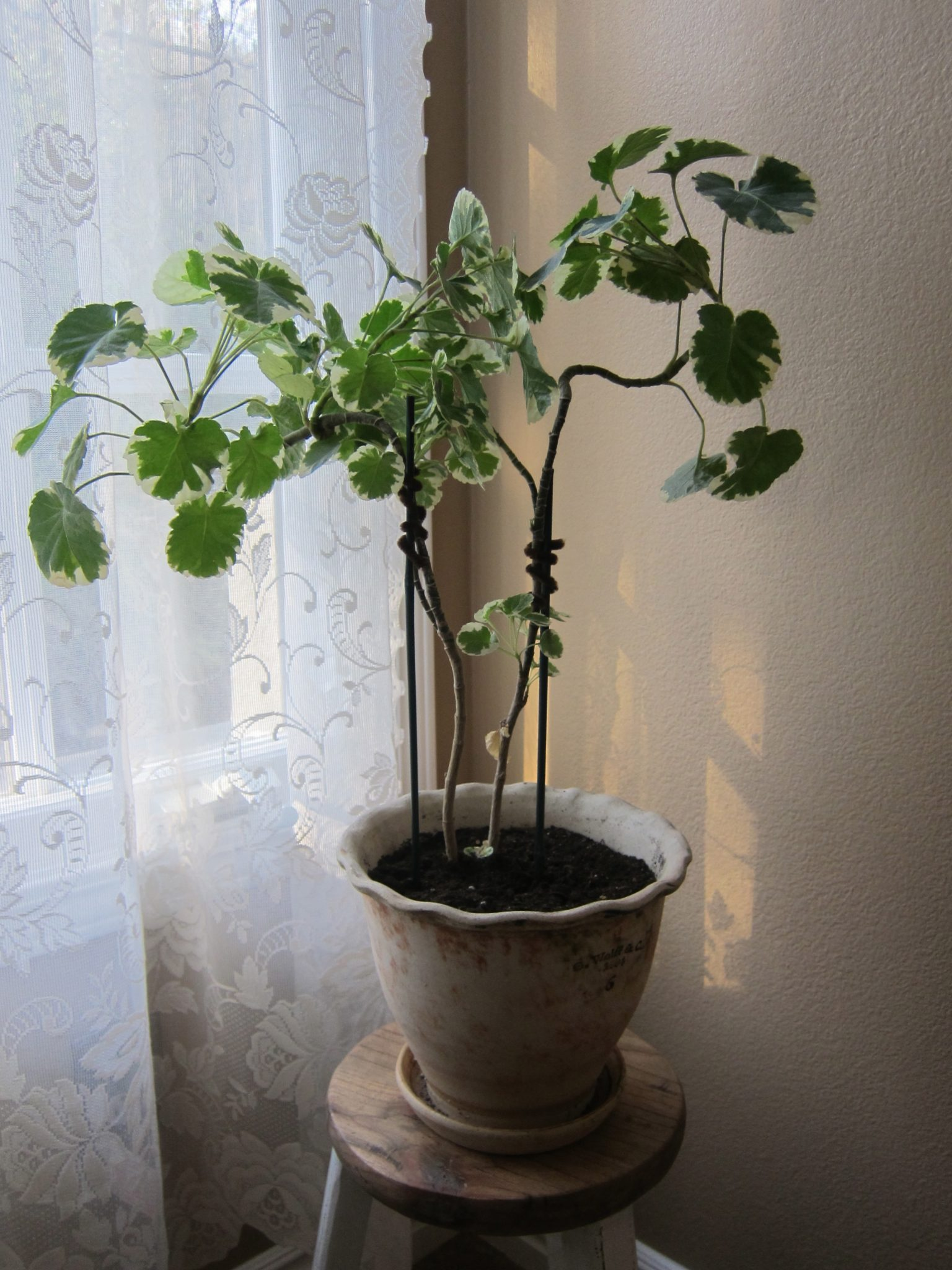 Variegated leaf plant