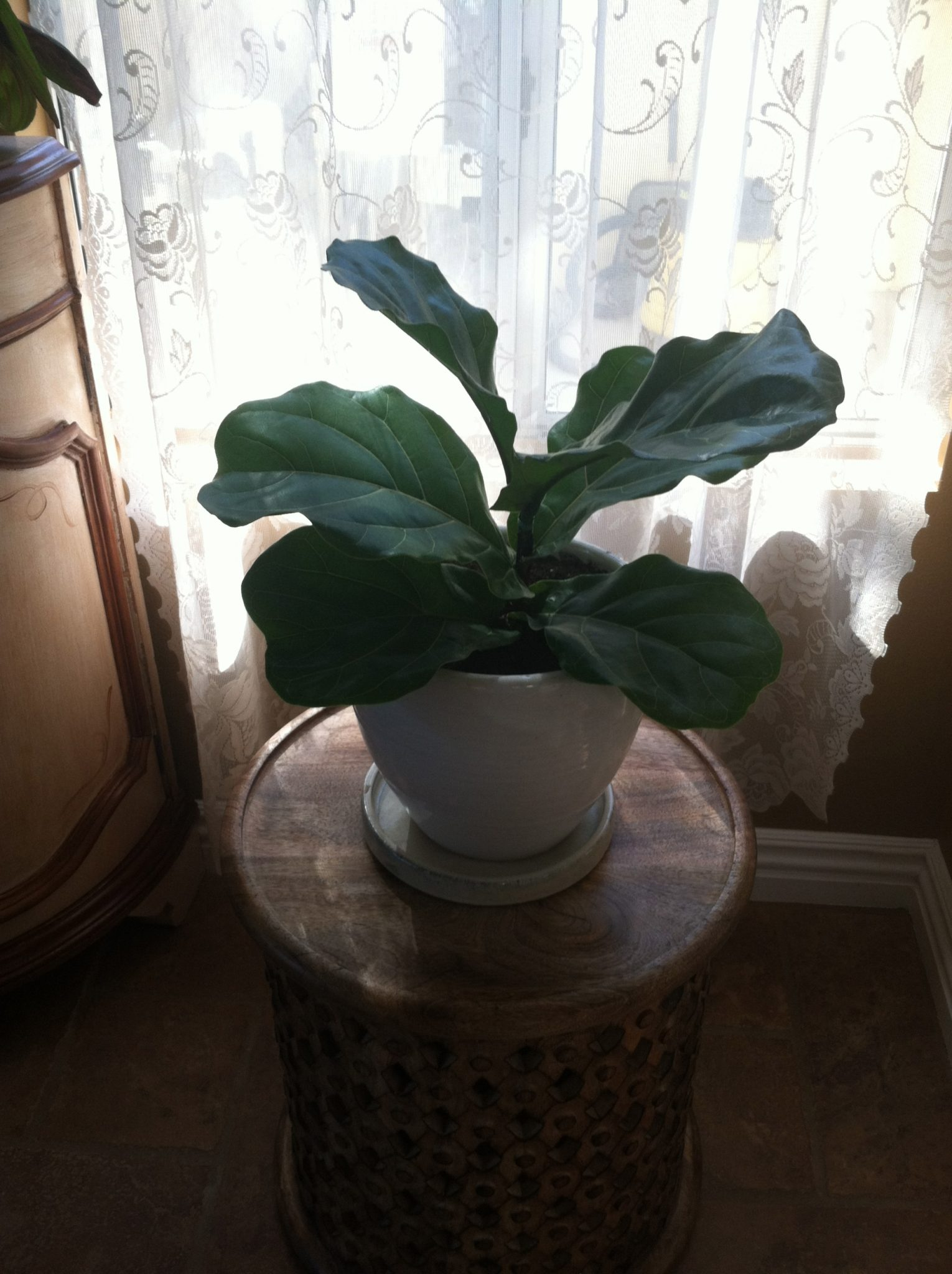 Fiddle-Dee-Dee a Fiddle Leaf Fig for Me! (House Plants, Part 2)
