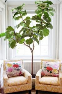 Fiddle Leaf Fig Tree Plant